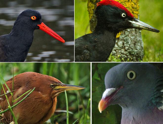 Otras aves con mancha en el iris: ostrero, pájaro carpintero, avetorilllo y paloma