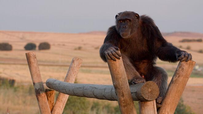 El chimpancé Gombe en las instalaciones de Rainfer