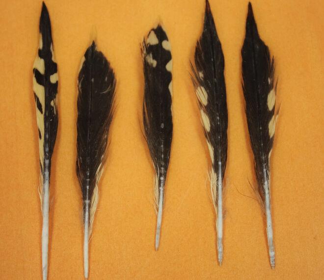 Algunas de las plumas halladas en el estómago de los tiburones