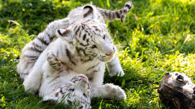 Cachorros de tigre blanco, Sendaviva
