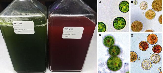 Las microalgas cambian de color con el estrés