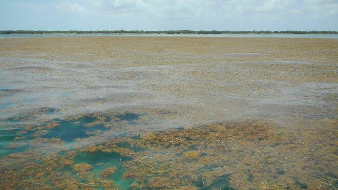 Acumulación de sargazos en los cayos de Florida