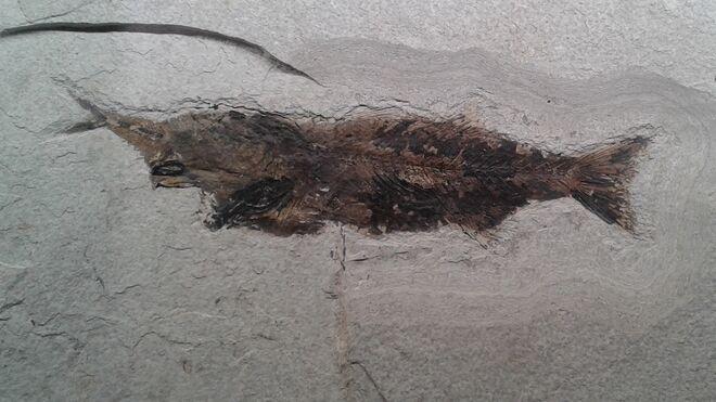 Fósil de un pez Mioplosus muerto aparentemente al tragarse un pez demasiado grande