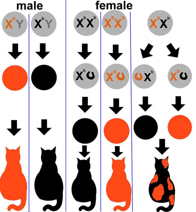 Un esquema de la genética de pigmentación de los gatos calicós