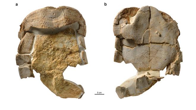 El fósil de la tortuga aplastada por un dinosaurio