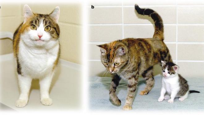 A la izquierda, Rainbow el primer gato clonado. A la derecha, madre gestante con el cachorro del clon