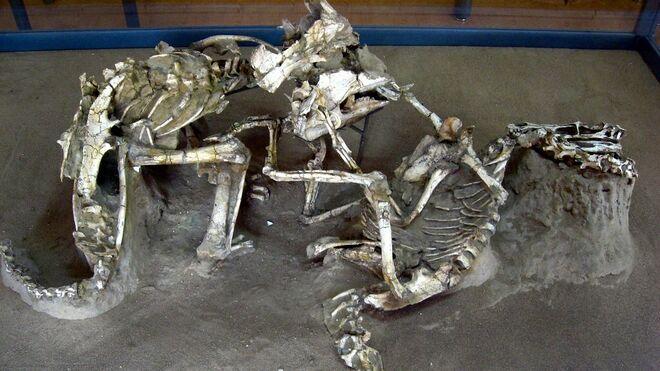 """Una réplica del fósil de """"dinosaurios luchando"""" en el museo de Ulan Bator"""