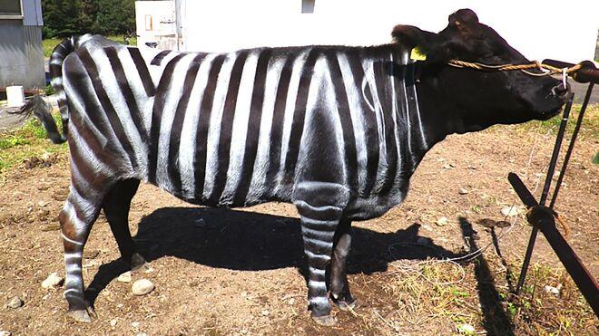 Aspecto de otra de las vacas pintadas para el experimento