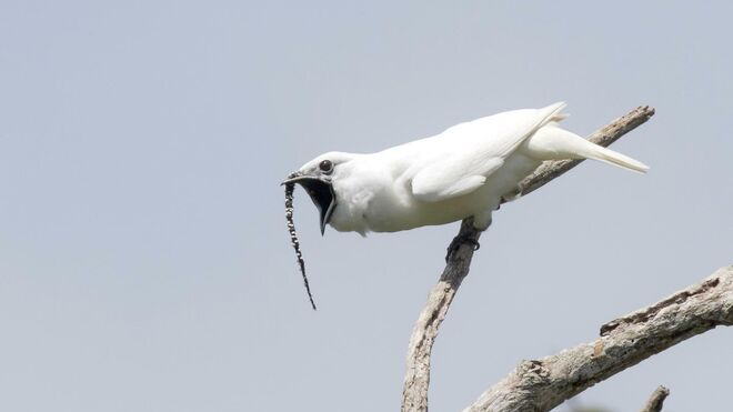 Un campanero blanco realizando una llamada