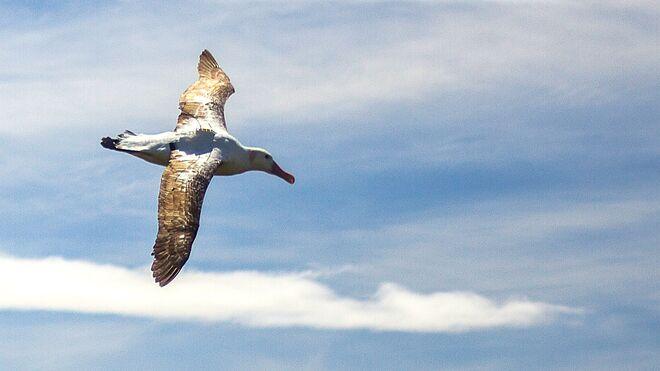 Uno de los albatros del estudio provisto del localizador