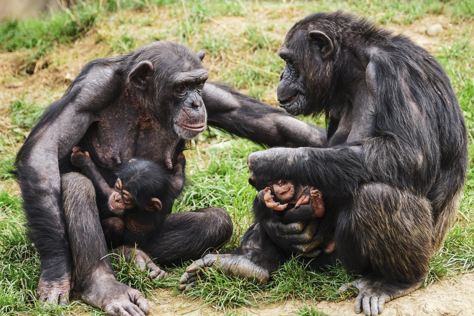 Los chimpancés también se unen frente al enemigo exterior