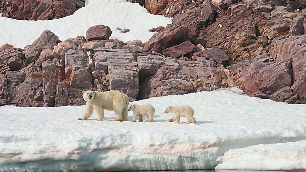 Svalbard: Los osos polares ya tienen sol de medianoche