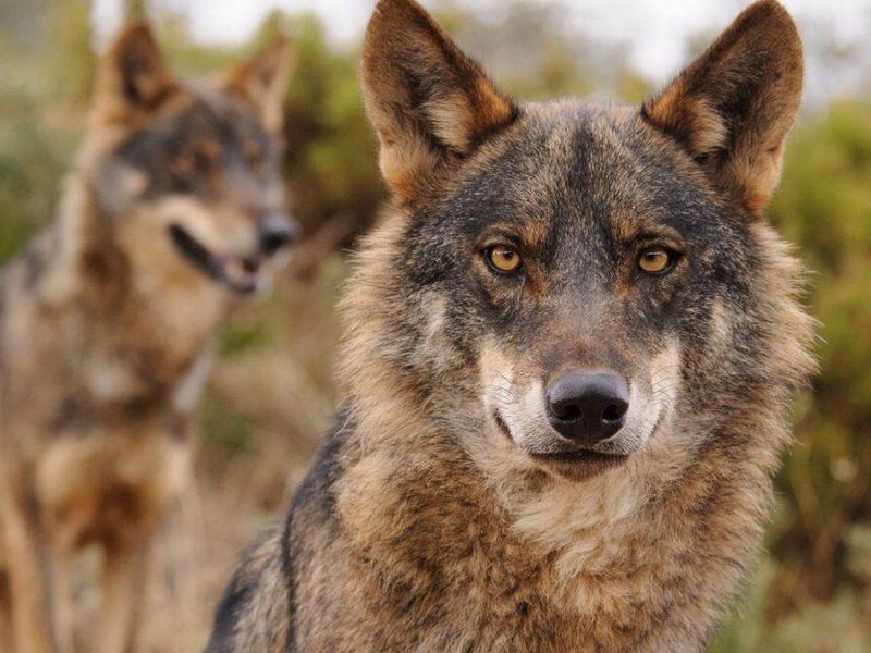 Nueve comunidades y tres organizaciones agrarias exigen dar marcha atrás en la prohibición de la caza del lobo