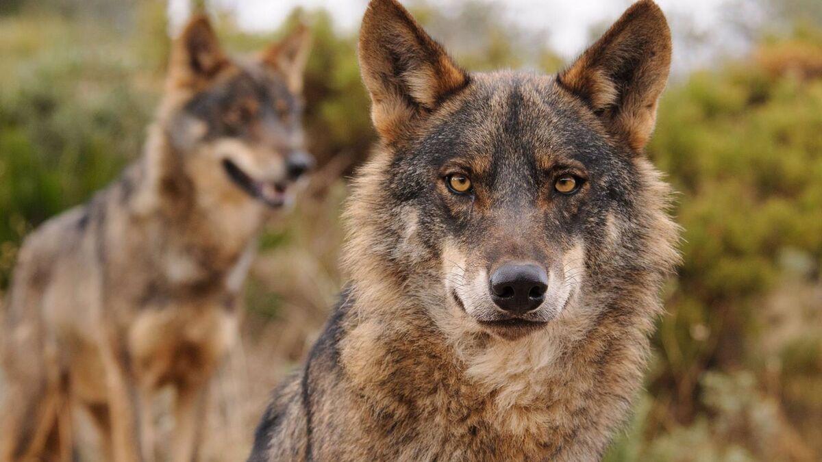 El Gobierno y las comunidades acuerdan prohibir la caza del lobo en España
