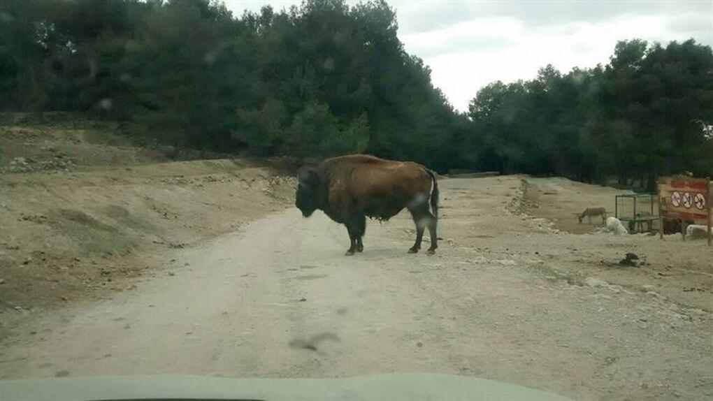 Un hombre muere al ser embestido por un búfalo en un 'safari' en Penàguila (Alicante)