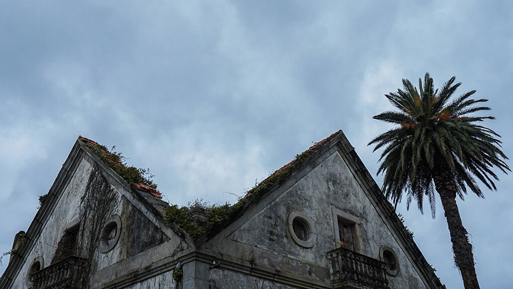 Una carrera para salvar las palmeras indianas