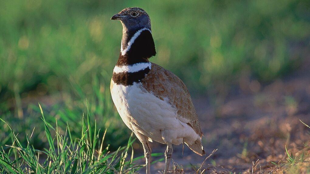 SEO/BirdLife pide a España que catalogue al sisón común como especie en peligro de extinción