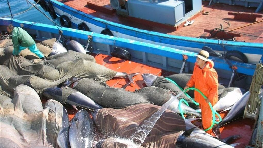 Los atuneros piden amparo a Tejerina ante el intento de los 'tigres' asiáticos por ocupar su mercado