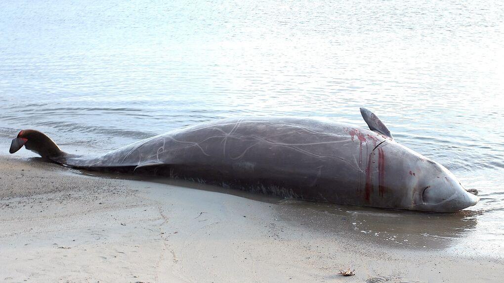 La guerra evolutiva con las orcas explica las muertes masivas de zifios