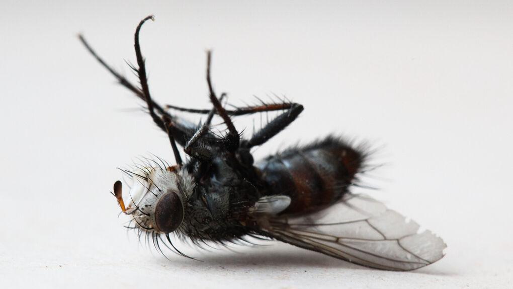El irresistible olor de las moscas moribundas