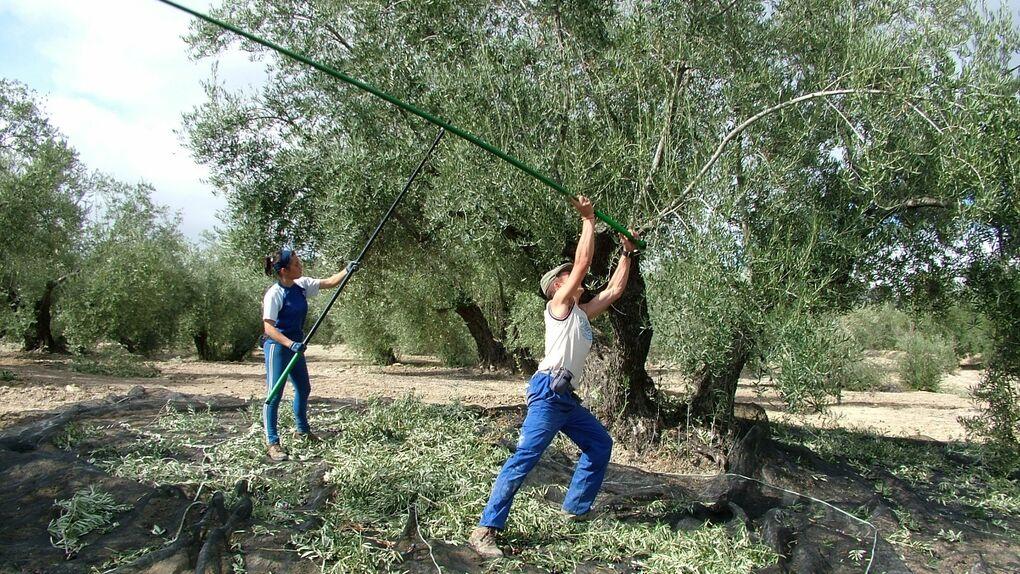 Un jardín de olivos a las afueras de Úbeda