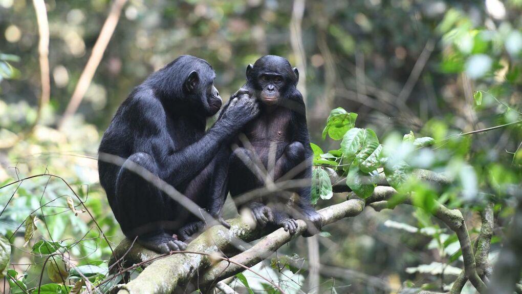 Las bonobos ayudan a sus hijos a encontrar hembras porque quieren ser abuelas