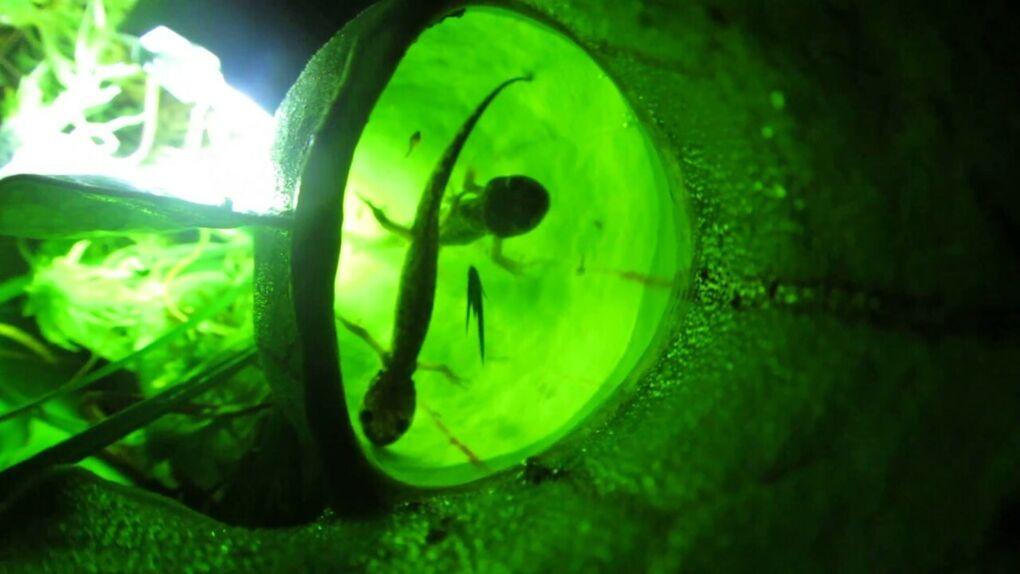 Una planta que come salamandras