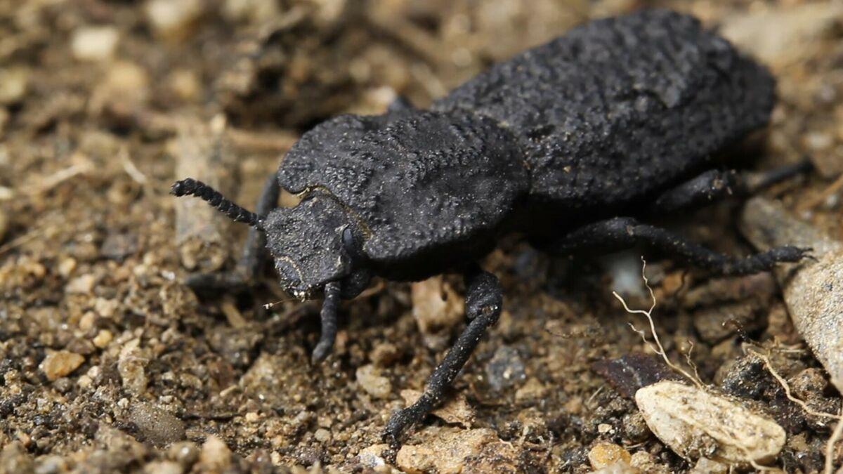 El secreto del escarabajo imposible de aplastar