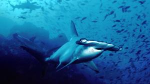 Un tiburón martillo da vueltas bajo el océano