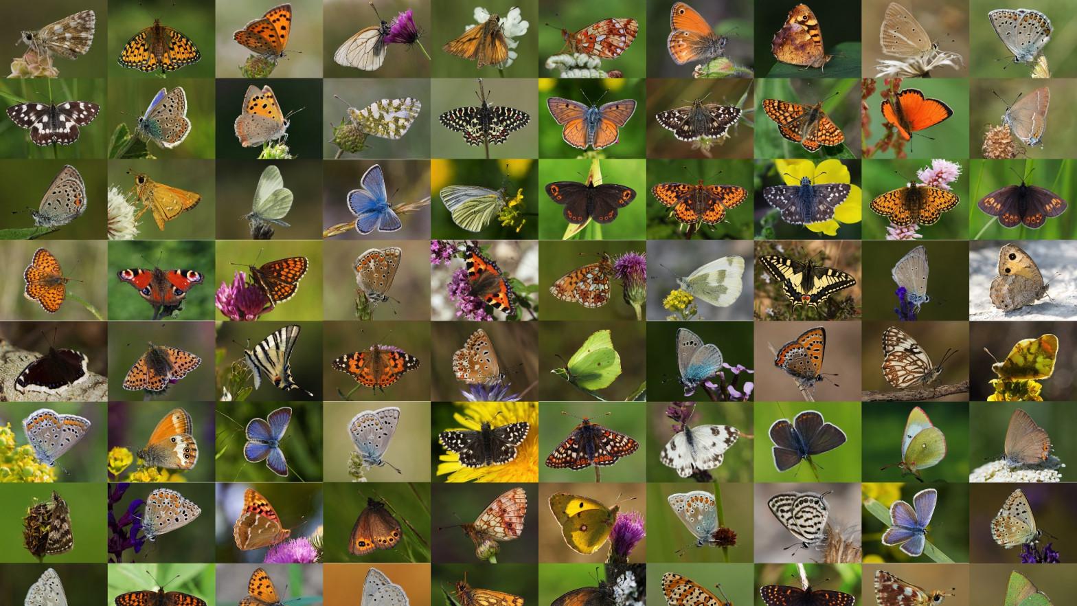 Un atlas genético de las mariposas de Europa