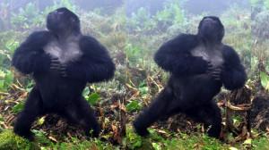 gorila-pecho
