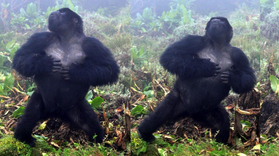 Los golpes de pecho de los gorilas transmiten valiosa información