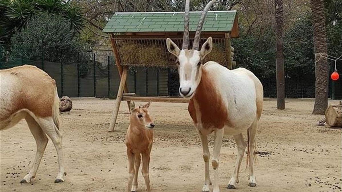 Nace en el Zoo de Barcelona una especie extinguida en la naturaleza