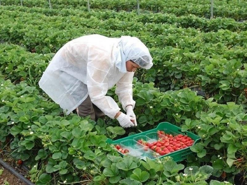 España busca mano de obra agrícola en Honduras ante la escalada de tensión con Marruecos