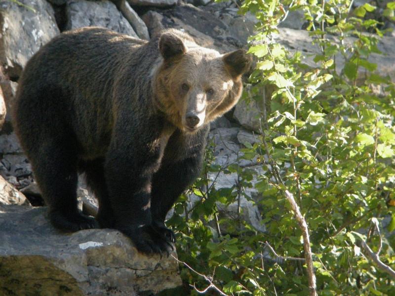 Herida grave una mujer tras ser atacada por un oso en Cangas del Narcea (Asturias)