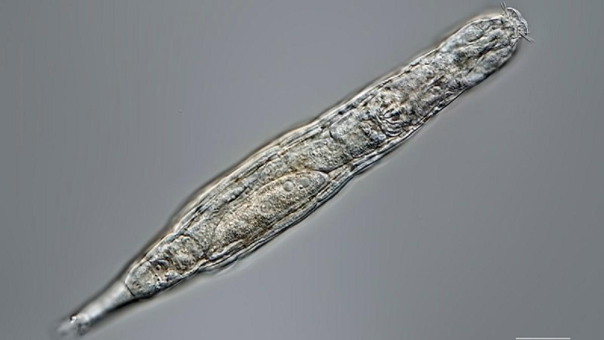 Un animal microscópico sobrevive tras 24.000 años en estado congelado