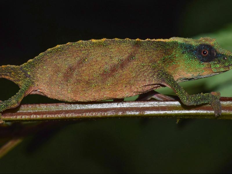 Encuentran en Malaui un raro camaleón que se creía extinto