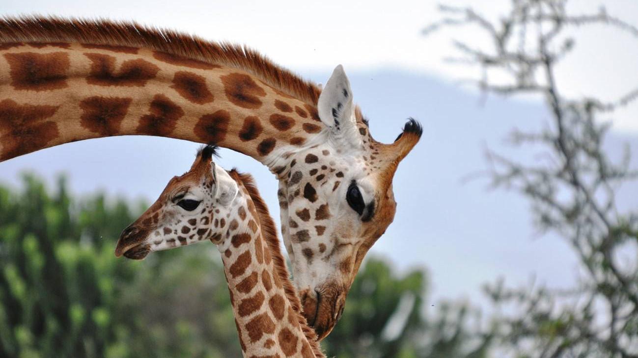Las jirafas son socialmente tan complejas como los elefantes